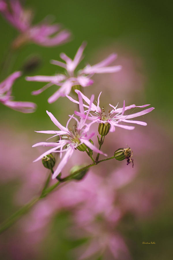 Wildflowers Photograph - Wildflowers - Ragged Robin by Christina Rollo