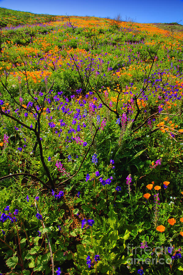 California Photograph - Wildflowerscape by Greg Clure