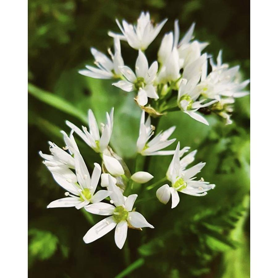 Flower Photograph - #wildgarlic #flower #woodland #walks by Natalie Anne