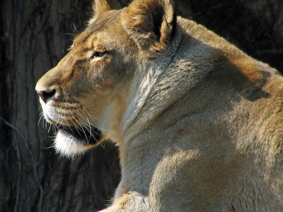 Lion Photograph - Wildlife Series by Ginger Geftakys