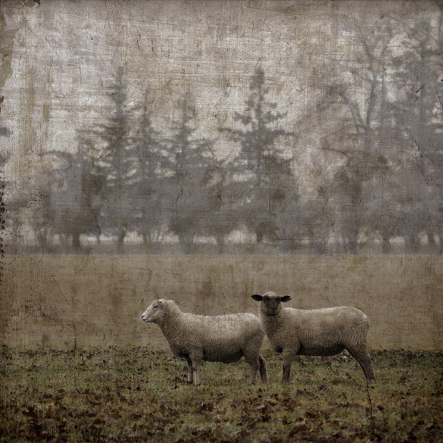 Sheep Photograph - Willamette Valley Oregon by Carol Leigh