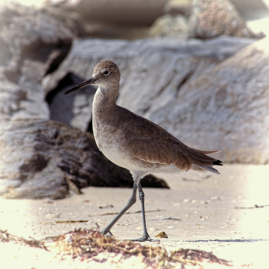 Willet 2 by Andrew Chianese