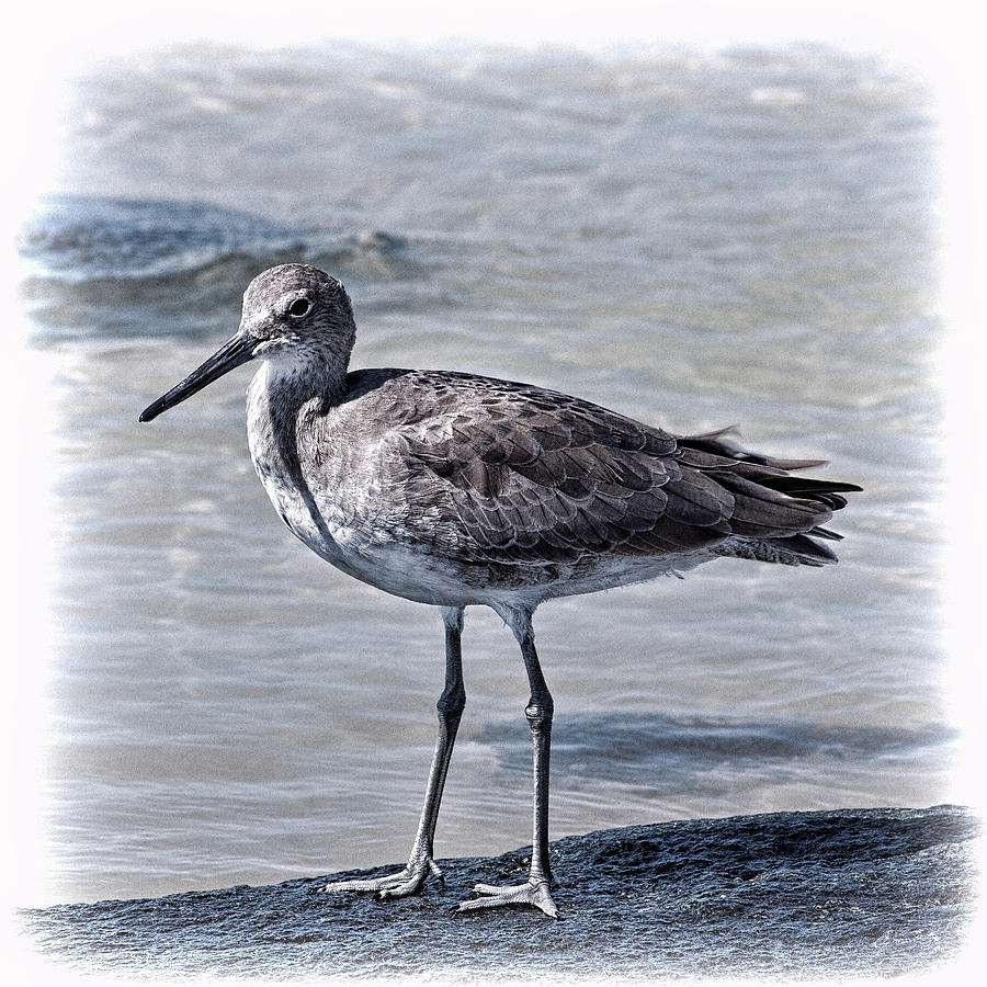 Willet by Andrew Chianese