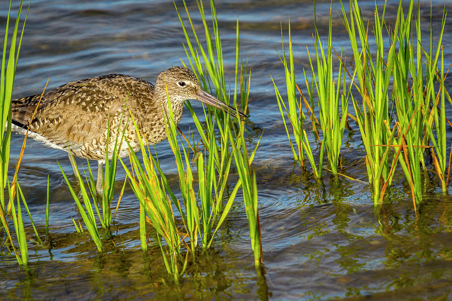 Shore Birds Photograph - Willet Feeding In The Marsh 2 by Donald Pash