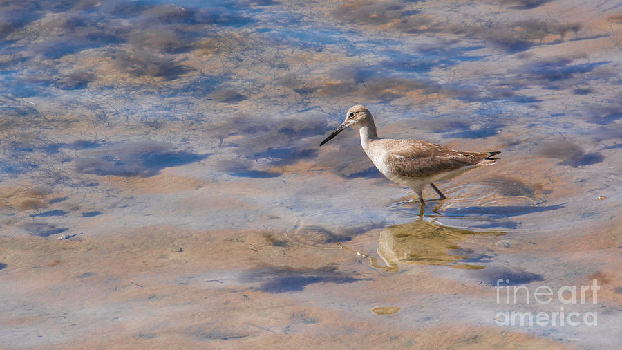 Willet No.2  by John Greco