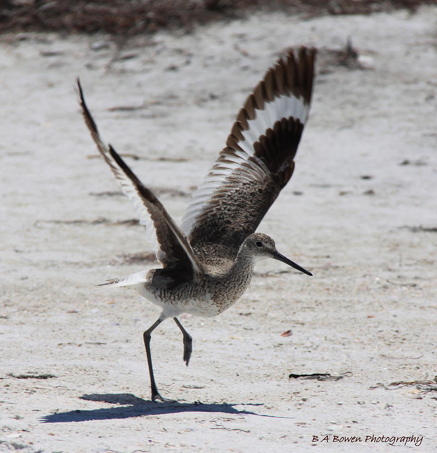 Willet Photograph - Willet Take-off by Barbara Bowen