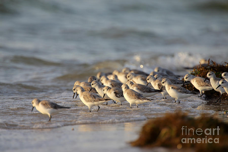 Birds Photograph - Willets On The Shore. by Rick Mann