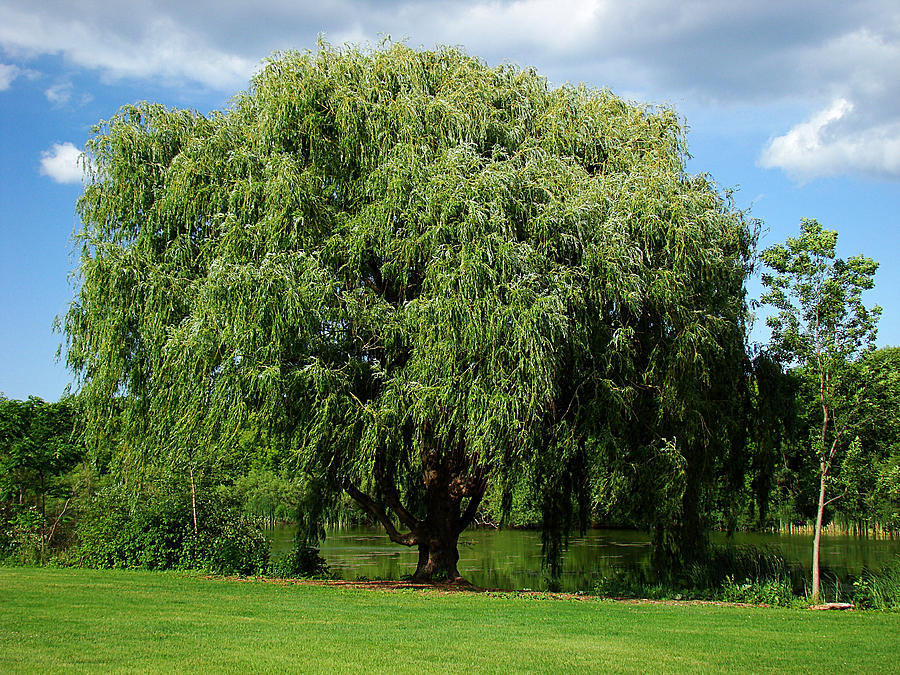 Milwaukee Photograph - Willow By The Pond by Todd Zabel