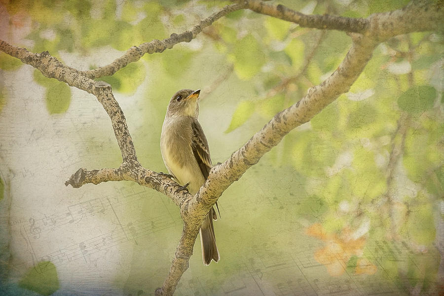 Willow Flycatcher Song by Vicki Stansbury