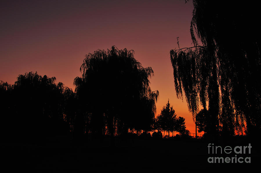 Leaves Photograph - Willow Tree Silhouettes by Joe  Ng