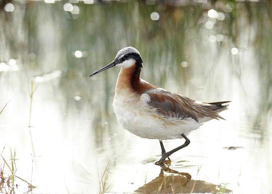 Birds Photograph - Wilsons Phalarope by Doug Herr