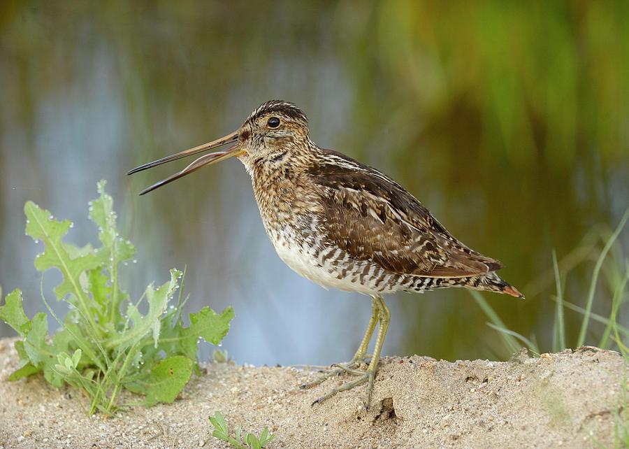 Birds Photograph - Wilsons Snipe by Doug Herr