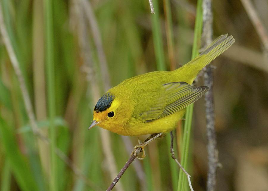 Birds Photograph - Wilsons Warbler by Doug Herr