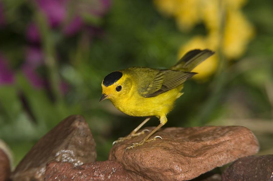 Mp Photograph - Wilsons Warbler Wilsonia Pusilla Male by Tom Vezo