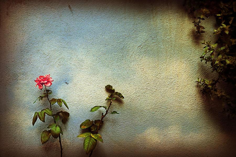 Rose Photograph - Wilting Rose by Silvia Ganora