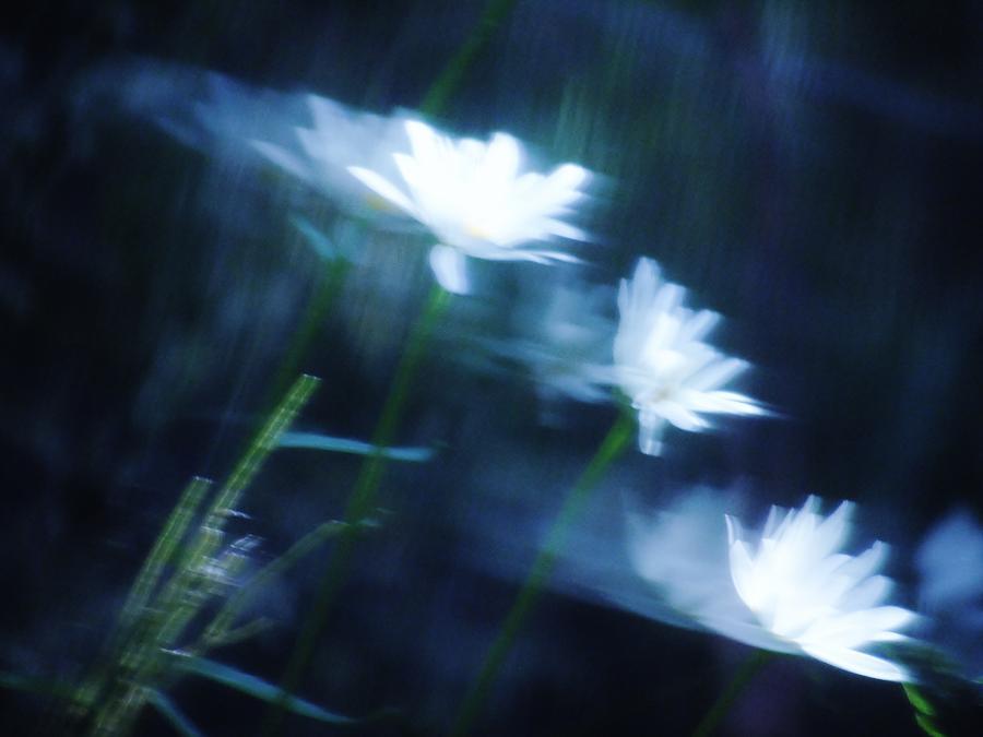 Wind Blown Daisies by Barbara St Jean