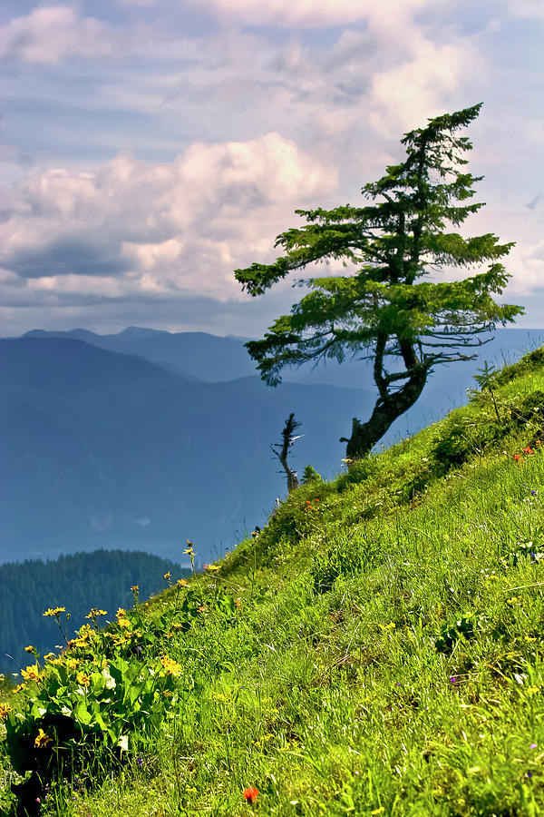 Northwest Mountains Photograph - Wind Sculpted Conifer by Albert Seger