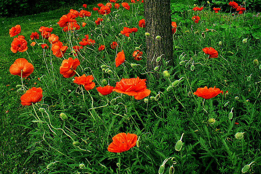 Flowers Photograph - Windblown Poppies by Roger Soule