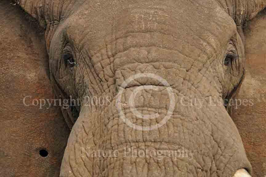 Elephant Photograph - Windows To Ancient Wisdom -- Bull Elephant  by Jodi Gaylord