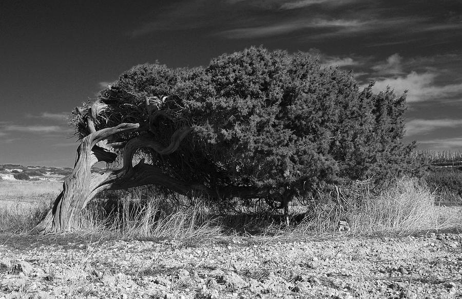 Tree Photograph - Windswept Olive Tree by Donald Buchanan