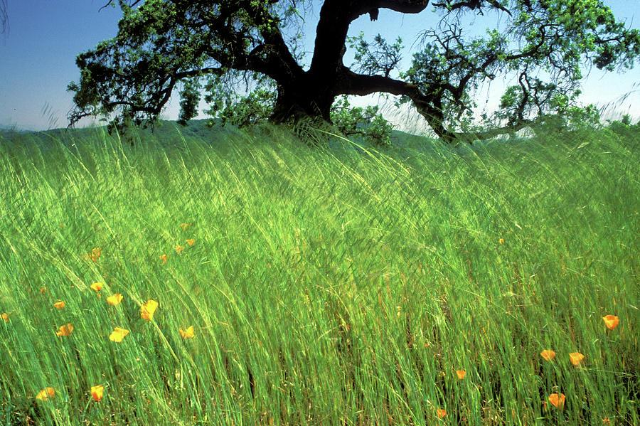 Oak Trees Photograph - Windswept Poppies by Kathy Yates