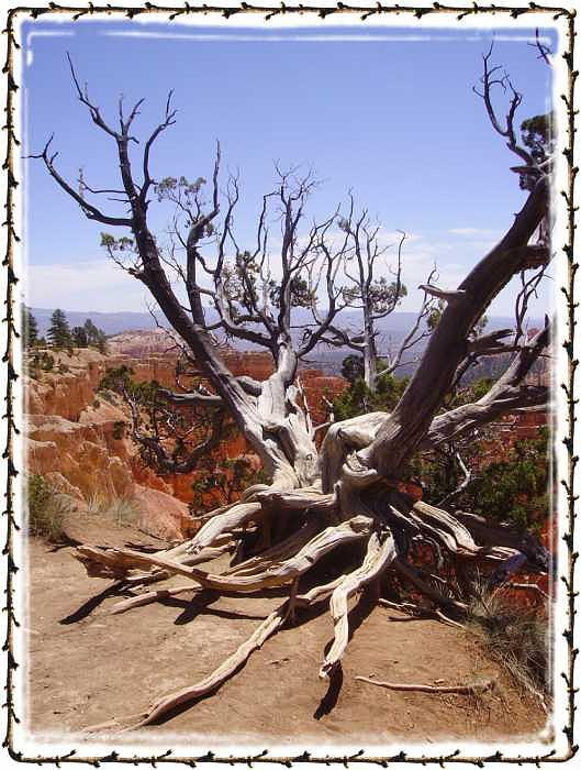 Bryce Canyon Photograph - Windswept Tree  Bryce Canyon by Janet Gioffre Harrington