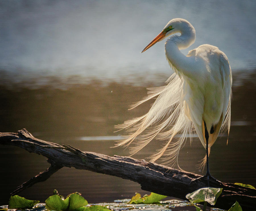 Windy Egret  by Richard Kopchock