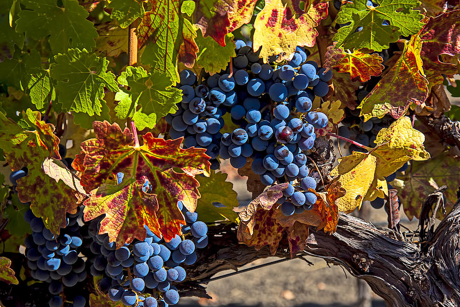 Grapes Photograph - Wine Grapes Napa Valley by Garry Gay