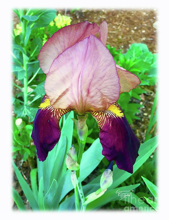 wine iris by GG Burns