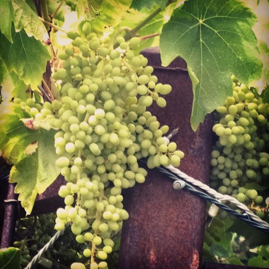 Grapevine Photograph - #wine On The #vine . Love These Little by Shari Warren