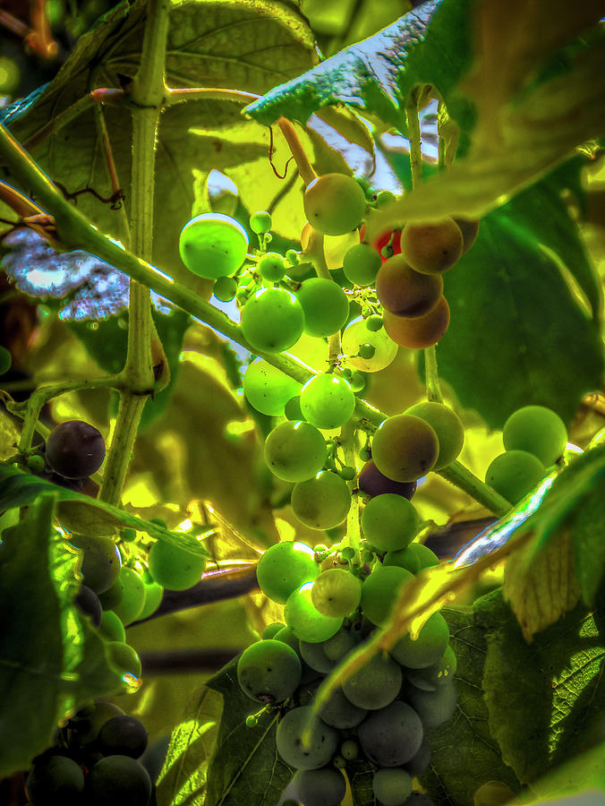 Grapes Photograph - Wine On The Vine by Mark Dunton