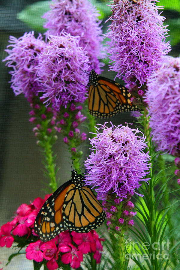 Nature Photograph - Winged Beauties by Crystal Nederman