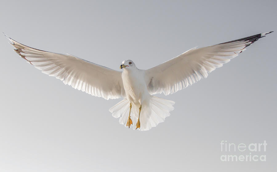 Winged Messenger by Chris Scroggins