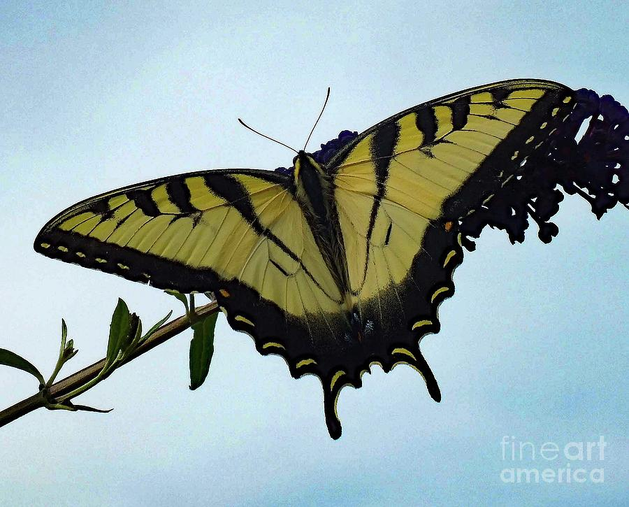 Artwork Photograph - Wings Are Perfect Match - Eastern Tiger Swallowtail by Cindy Treger