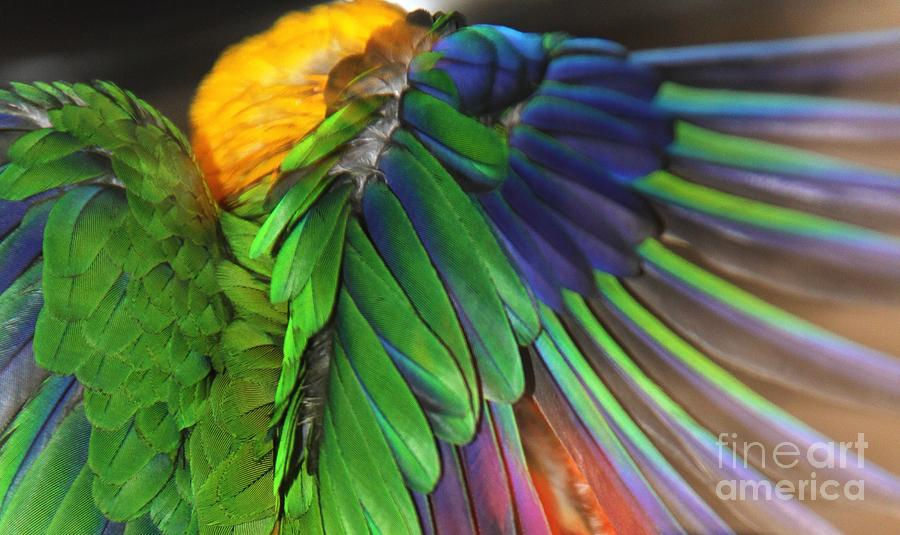 Feathers Photograph - Wings Of A Conure by Andrea Lazar