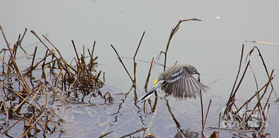 Wings Photograph - Wings Over Water by Nick Gustafson