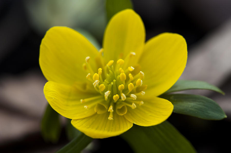 Winter Aconite by Dan Hefle