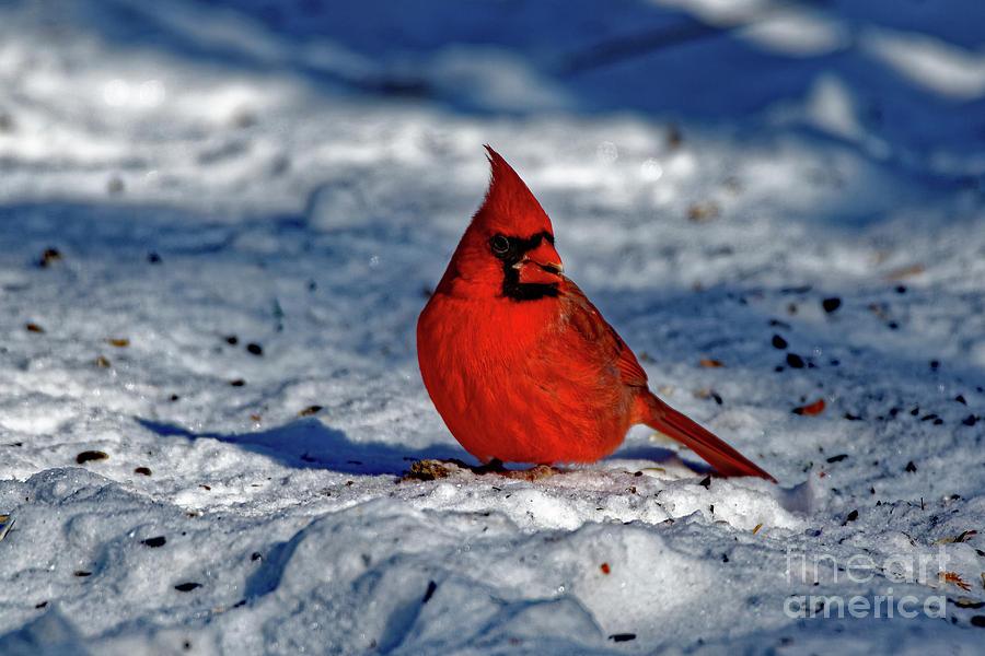 Northern Cardinal Photograph - Winter Beauty by Rebecca Warren