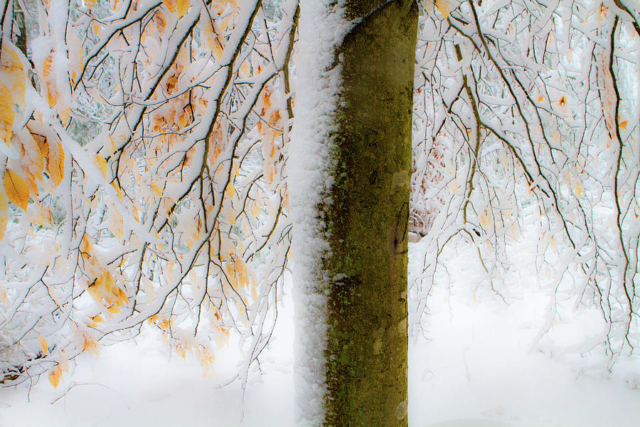 Winter Beech by Steven David Roberts