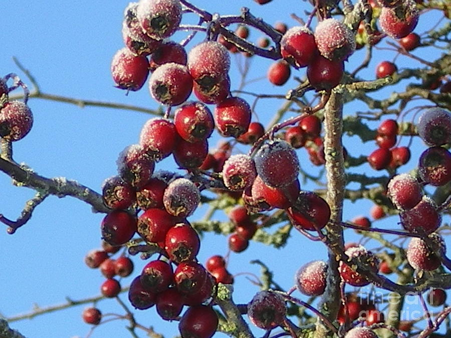 Winter Photograph - Winter Berries 1 by Joanne Simpson