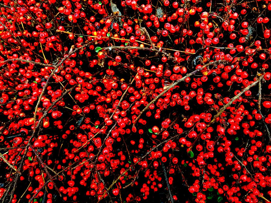 Red Berries Photograph - Winter Berries by Colin Drysdale