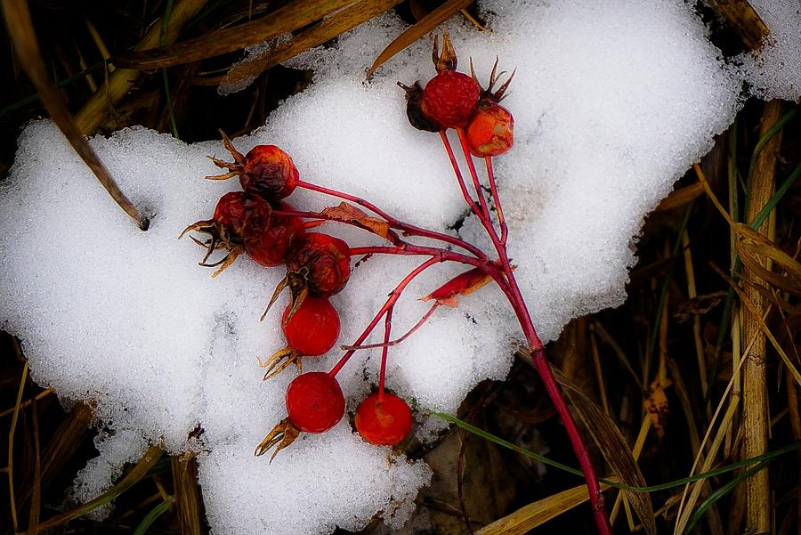 Winter Berries Photograph by Desmond Raymond