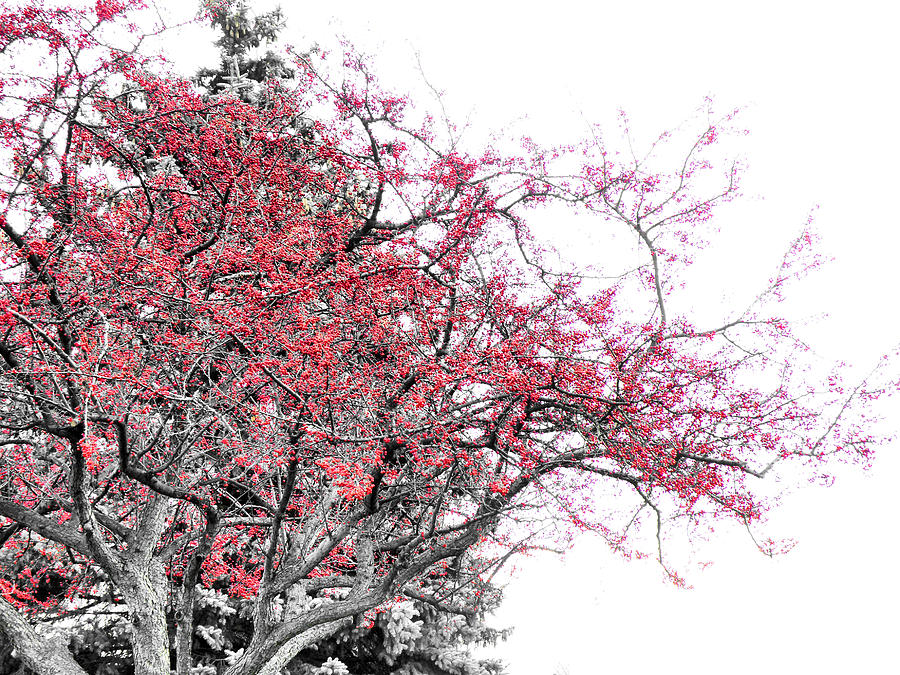 Black Photograph - Winter Berries by Scott Hovind