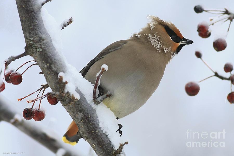 Bird Photograph - Winter Berry Treat by Deborah Benoit