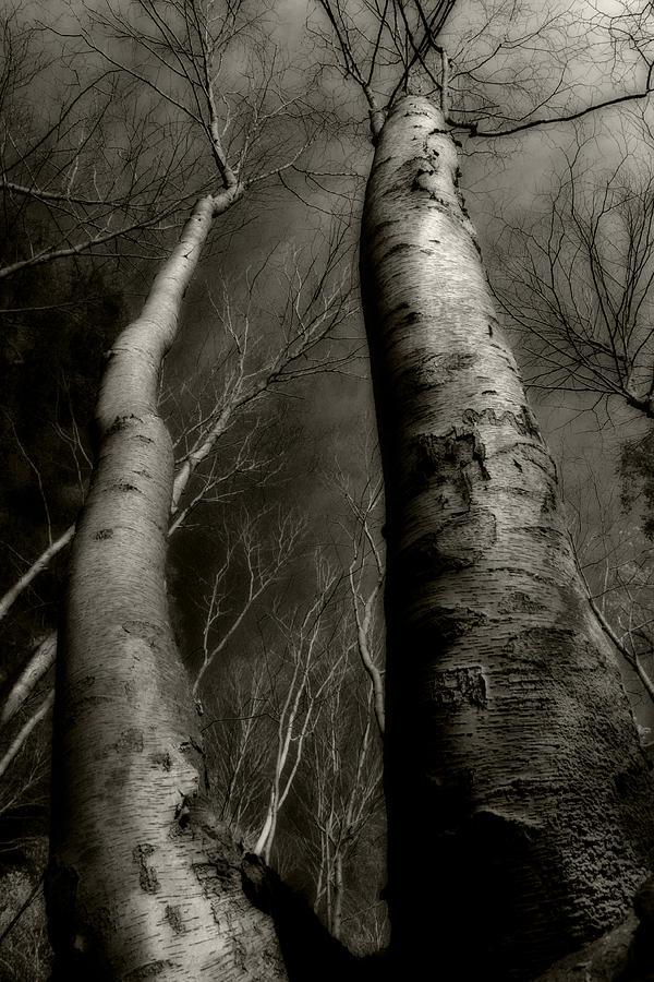 Trees Photograph - Winter Birch by Kim Zier