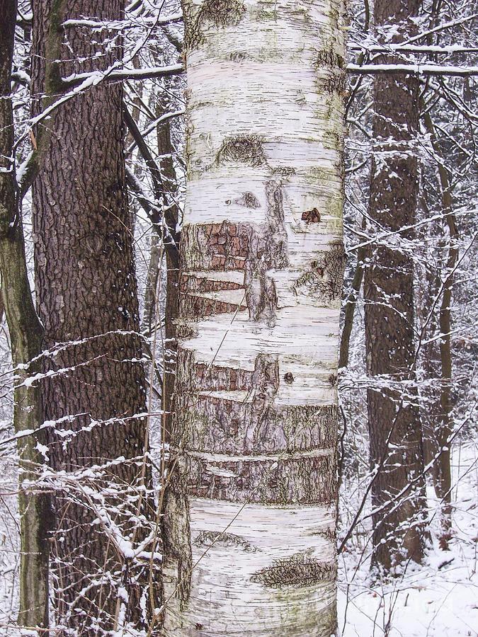 Winter Photograph - Winter Birch by Phil Perkins
