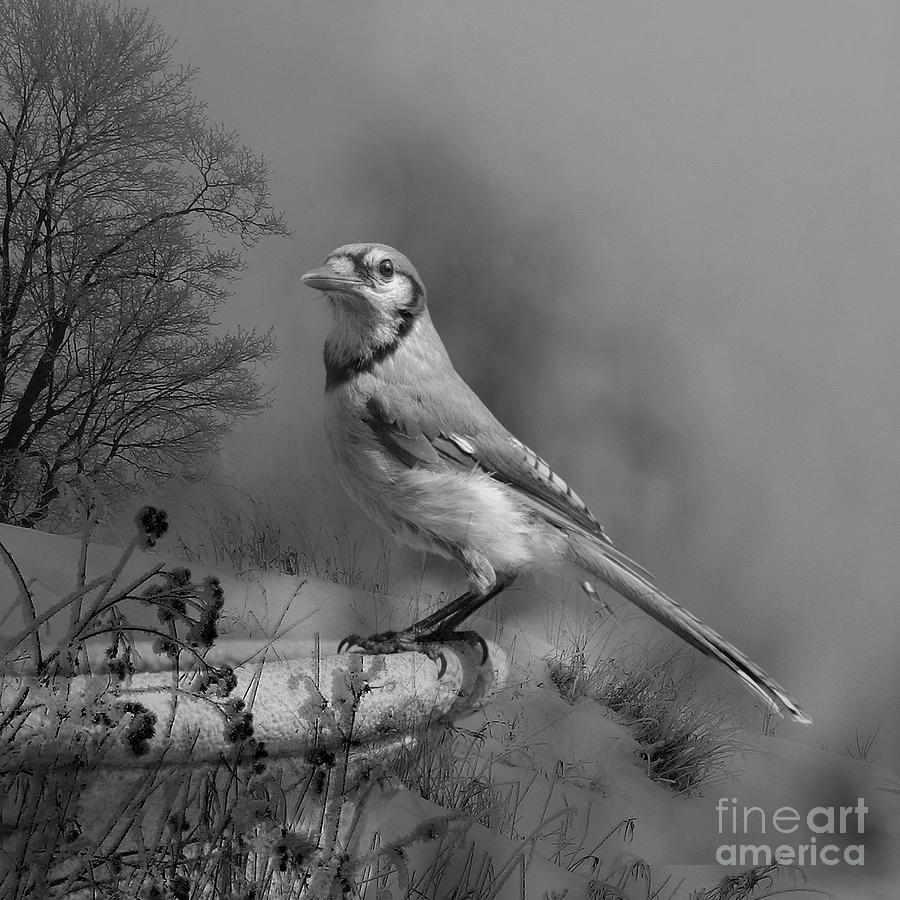 Bluejay Photograph - Winter Bird by Jan Piller