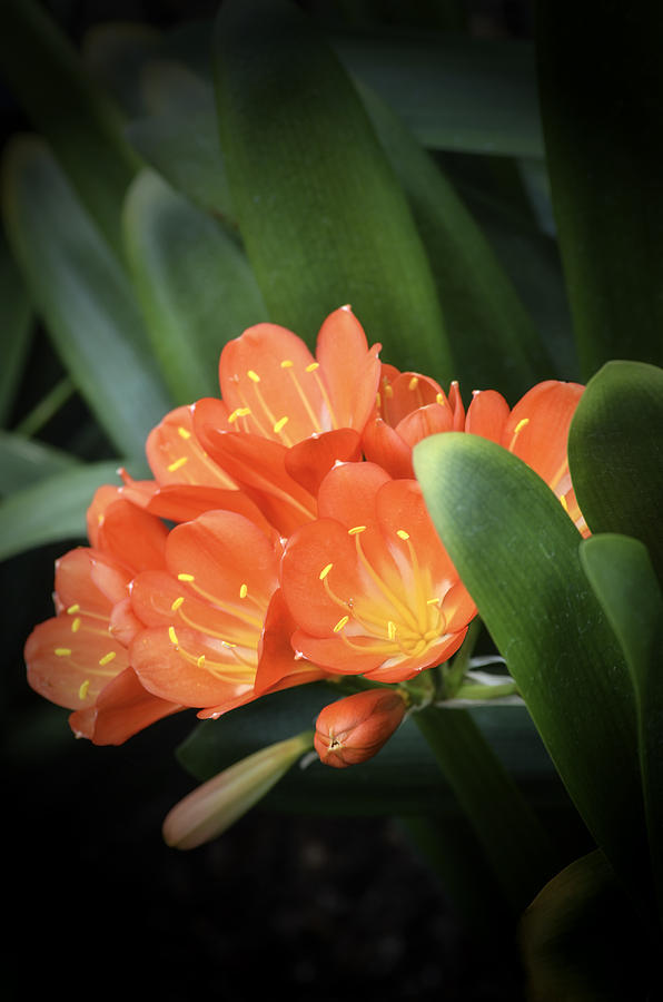 Greenhouse Photograph - Winter Bloom Clivia by Julie Palencia