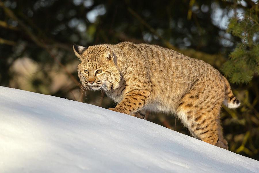 bobcat - photo #15