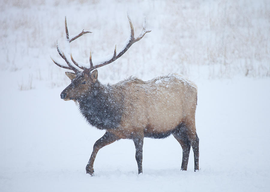 Elk Photograph - Winter Bull by Mike  Dawson